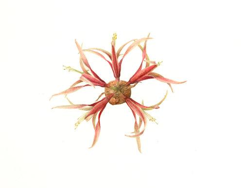 Ashton-Hergenhan _ Carol 1 amaryllis
